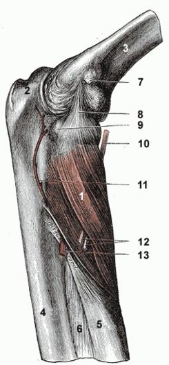 Músculo supinador - Wikipedia, la enciclopedia libre