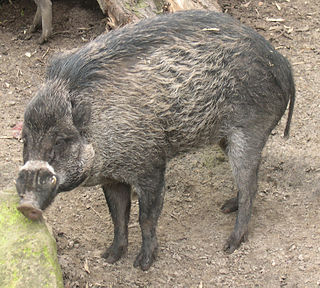 Visayan warty pig species of mammal
