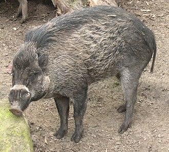 Visayan warty pig - Image: Sus cebifrons 2