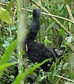 Susa group, mountain gorillas (463715647).jpg
