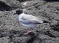 Swallow-tailed gull (40834001363).jpg