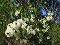 Swamp Paperbark flower (6256975559).jpg