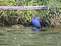 Swamphen Two Lake Burley Griffin Canberra.JPG
