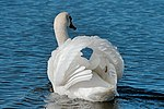 Swan - RSPB Radipole Lakes (29736533530).jpg