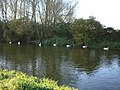 Swans on the Avon, Downton - geograph.org.uk - 331586.jpg