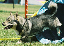 Gifts for Swedish Vallhund Dog Lovers