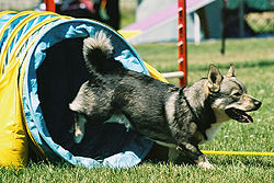 Vallhund running out of a dog agility tunnel