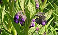 Symphytum officinale (Common Comfrey), Lainshaw Woods, Stewarton, Scotland.jpg