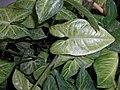 Syngonium podophyllum 2015-06-16 254.jpg