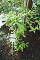 Synsepalum dulcificum-Jardin botanique de Berlin (5).jpg
