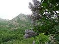 Syringa vulgaris Bulgaria 7.jpg