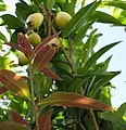 Syzygium jambos Foliage and fruit IMG 4901.JPG