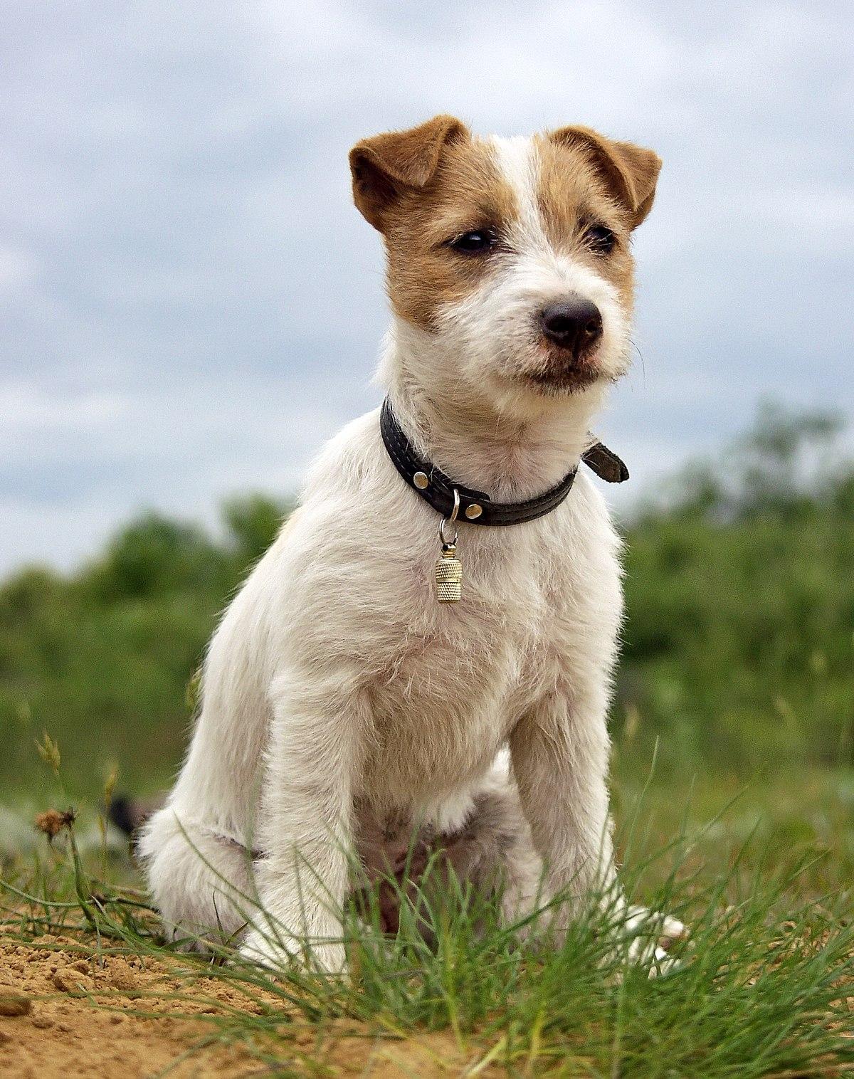 jack russell terrier wikipedia wolna encyklopedia. Black Bedroom Furniture Sets. Home Design Ideas