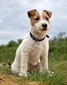 Szczenie Jack Russell Terrier3.jpg