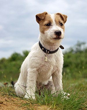 English: Puppy of Jack Russell Terrier Polski:...