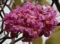 Tabebuia impetiginosa (Pink Trumpet tree) in Hyderabad, AP W IMG 2601.jpg