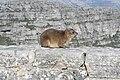 Table Mountain dassie Wikimania 2018 005.jpg