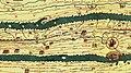 Tabula Peutingeriana - Statio di Surpicano.jpg