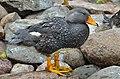 Tachyeres pteneres (Fuegian Steamer Duck - Magellan-Dampfschiffente) - Weltvogelpark Walsrode 2012-06.jpg