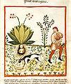 Tacuinum Sanitatis Mandrake Dog.jpg