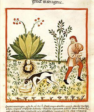Mandrake - Mandragora, from Tacuinum Sanitatis (1474).