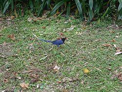 Taiwan blue magpie (Urocissa caerulea).jpg