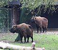 Takin Budorcas taxicolor Tierpark Hellabrunn-1.jpg