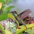Talamanca hummingbird (Eugenes spectabilis) male in flight.jpg