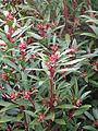 Tasmannia lanceolata (12994956554).jpg
