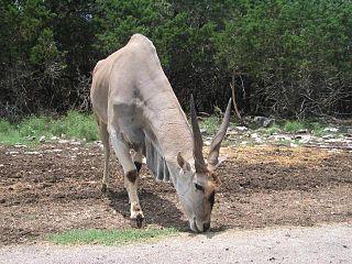 <i>Taurotragus</i> genus of mammals