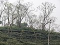 Tea gardens Srimangal Sreemangal Upazila Moulvibazar Maulvibazar Moulavibazar Sylhet 05.jpg