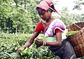 Tea plucker assam india.jpg
