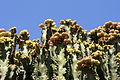 Teguise Guatiza - Jardin - Euphorbia abyssinica 08 ies.jpg