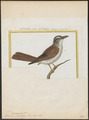 Telophorus cucullatus - 1700-1880 - Print - Iconographia Zoologica - Special Collections University of Amsterdam - UBA01 IZ16600495.tif