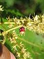 Terminalia elliptica - Indian Laurel flowers at Nedumpoil (7).jpg