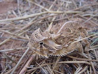 Texas horned lizard - Image: Texas Horned Lizard