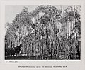The Forest Flora of New South Wales - Eucalyptus odorata.jpg