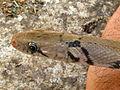 The Montane Trinket Snake (Coelognathus helena monticollaris) 25.JPG