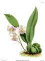 The Orchid Album-01-0122-0040-Odontoglossum kramerii.png