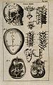 The bones of the human skeleton; the skull and the vertebrae Wellcome V0007791EL.jpg