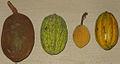 Theobroma fruits.jpg