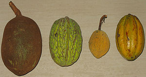 Theobroma - From left to right: T. grandiflorum, T. bicolor, T. speciosum, T. cacao photo: Roy Bateman