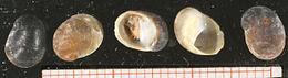 Theodoxus transversalis