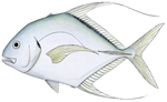 Threadfin jack.png