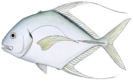 Threadfin jack