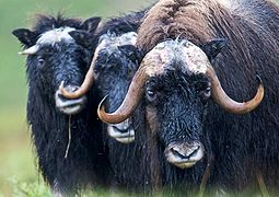 Three Wet Muskox (7584216266).jpg