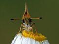 Thymelicus lineolus - Essex Skipper butterfly 02.jpg