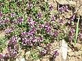 Thymus serpyllum - Canillo, Andorra.JPG