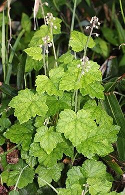 Tiarella polyphylla (leaf).JPG
