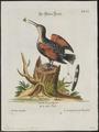 Tichodroma muraria - 1700-1880 - Print - Iconographia Zoologica - Special Collections University of Amsterdam - UBA01 IZ19200381.tif